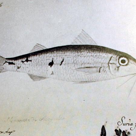 Triglia (Mullus sp.)