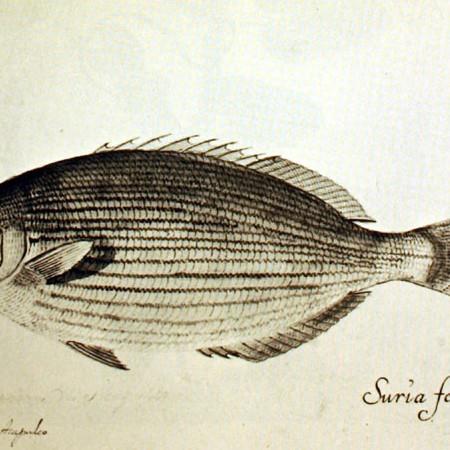 Kifósido (Kyphosus sp. ?)
