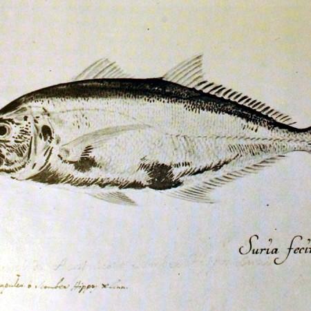 Carángido (Caranx sp.)