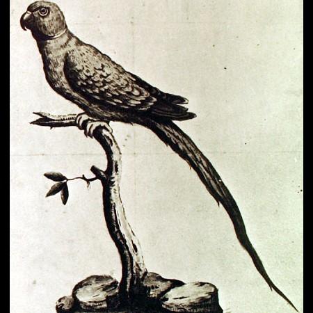 Psitácido (Conurus sp.)