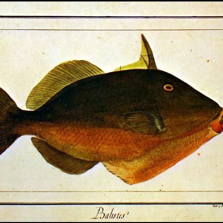 Pesce balestra (Balistes sp.)