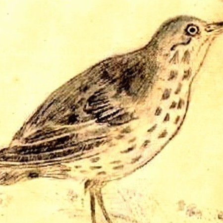Zampullín o Somormujo del Messico (Podiceps) (Aechmophorus occidentalis)