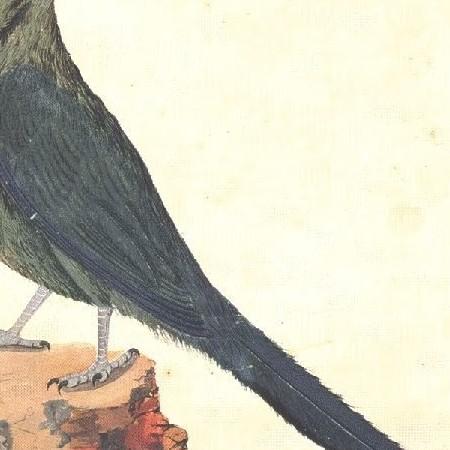 Motmot. Coraciforme (Momotus momota)
