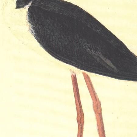 Cigüeñuela. Caradriforme(Himantopus himantopus)
