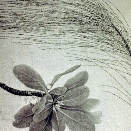 Gimnosperma (Casuarina)