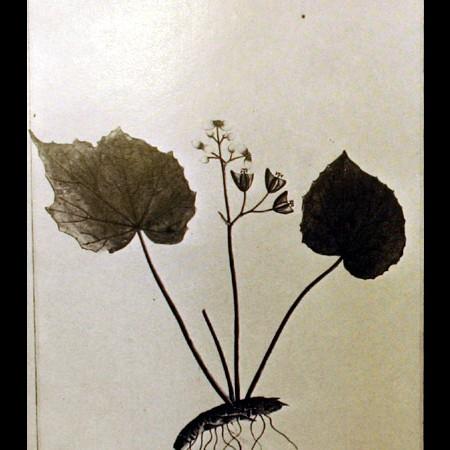 Begoniaceae (Begonia)