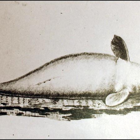 Sirenide (Dugong dugong)