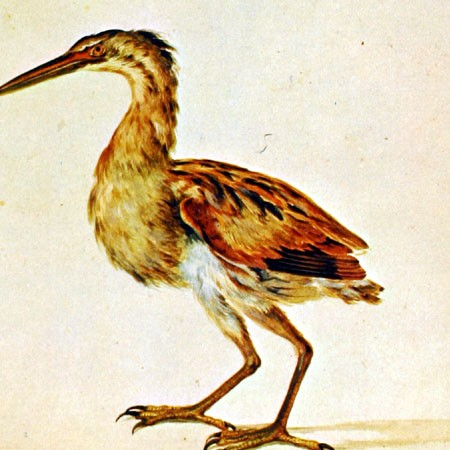 Airone. Ardeida (Ixobrychus involucris?)