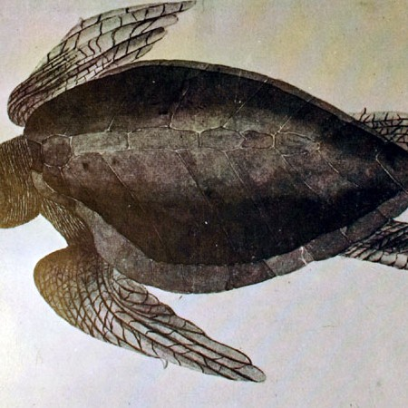 Tartaruga (Chelonia mydas)